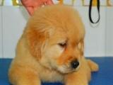 本人出售一窝家养的金毛幼犬,有喜欢的可以便宜领养回家