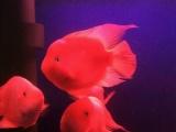 自家养的财神鹦鹉鱼