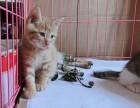 南京市家养宠物网红小橘猫多少钱橘猫出售狸花猫