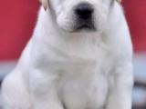 犬舍直销精品拉布拉多幼犬黑色白色均有疫苗齐全