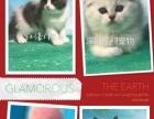 英短蓝猫及各种宠物猫 不纯白送 死亡包赔