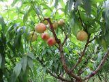 阳山水蜜桃优质,具有口碑的无锡阳山水蜜桃苗张家批发价格出售