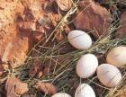 供应正宗土鸡蛋,草鸡蛋