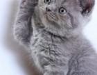 唐山哪里有蓝猫卖 蠢萌型 健康无廯送货上门 支持空运