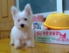 广州哪有西高地犬卖 广州西高地犬价格 广州西高地犬多少钱