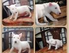 重庆出售纯种牛头梗犬 自家养殖的 当面测试交易 同城免费送狗