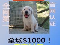 拉布拉多多少钱 哪里有卖拉布拉多犬 拉布拉多导盲犬