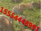种兔养殖技术,养兔,肉兔养殖,种兔价格,獭兔皮价格