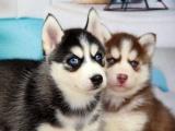南京狗狗之家长期出售高品质 拉布拉多 售后无忧