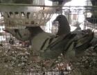 鸽子养殖,鸽子价格,家养肉鸽子出售