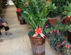 福州专业绿植租赁花卉盆栽送货花园别墅绿化种花种竹子草皮