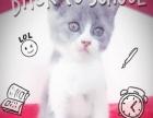 出售各品种猫咪 活泼可爱