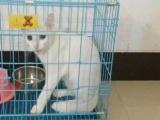 短猫干净可爱纯白猫警长