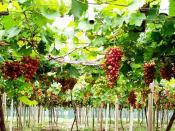 要买优惠的果蔬大棚专用膜,一润农膜是不二选择-葡萄大棚专用膜