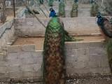 德州孔雀幼苗活体出售 蓝花孔雀苗