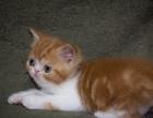 本地出售猫中贵族加菲猫,可上门,包建康,签协议