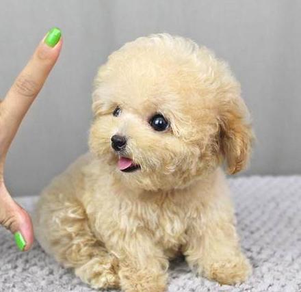 茶杯泰迪犬 玩具泰迪犬 种公外配 支持送货上门图片