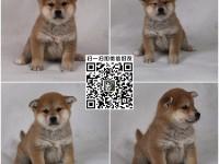 上海正规大型养殖场 大饼脸柴犬宝宝 日本柴犬 八公犬