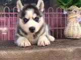 出售三把火双蓝眼 堪称最帅名犬 高品质哈士奇幼犬