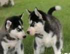 个人自家繁殖的一窝纯种蓝眼三火哈士奇幼犬 喜欢的联系我看狗哦