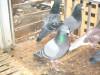 天津肉鸽养殖供应种鸽