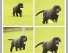拉布拉多幼犬冠军级后代保健康签协议带证书包三个月