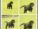 本地里有犬舍 拉布拉多体型好头版漂亮