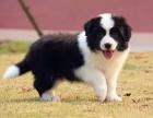 北京哪里卖边境牧羊犬幼犬北京边牧多少钱一只边牧图片边牧好养吗