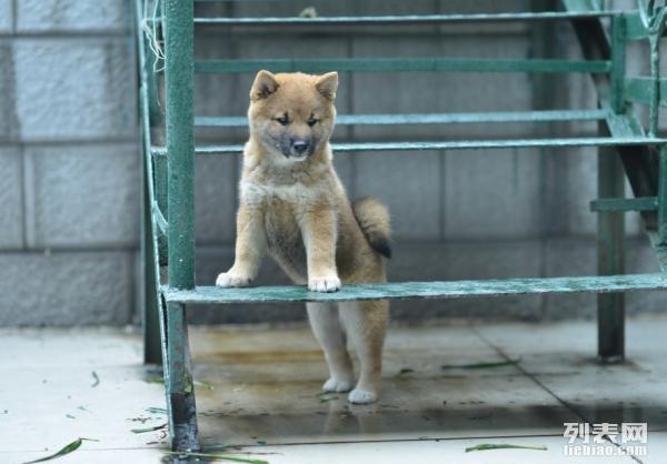 重庆哪里有纯种健康柴犬买重庆什么地方可以买到柴犬狗