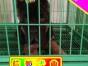 北京实体德牧犬舍 幼犬待售中 当时化验健康签协议