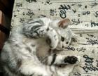 英短2岁母猫找新家