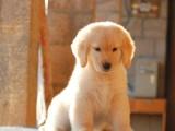 本地犬舍出售高品质 大骨架金毛幼犬 保证纯种健康 赛级有证书