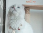 麦塔宠物折耳猫低价出售