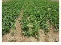 特供草莓苗好品种 大棚草莓苗品种排名