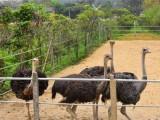 黄石养殖场直销鸵鸟活体苗