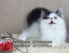 猫舍出售品种波斯猫喜欢的粑粑麻麻可以带它们回家哦
