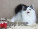 猫舍专业繁殖宠物波斯猫品种纯品相好欢迎选购