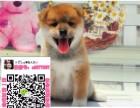 南昌秋田犬狗市场 南昌秋田犬多少钱一只 南昌哪里有卖秋田犬的
