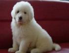 大型犬有哪些品种 大白熊是大型犬吗