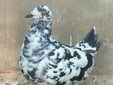 各种观赏鸽养殖 肉鸽 精品元宝鸽子