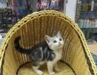出售一窝正宗的英国短毛猫。非常可爱漂亮的,公母都有