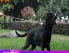 哪里有罗威纳犬出售多少钱,罗威纳犬的照片