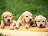 出售拉布拉多導盲犬,頭大較寬,毛色好,品相佳包健康