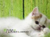 家庭猫舍黄白加菲猫净梵包纯种保健康