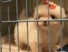 上海哪里有免费赠送家养宠物狗狗马尔济斯犬免费领养公母都有