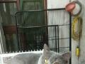 大包子脸种公蓝猫对外借配,品相好不好自己看