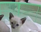自家小暹罗猫出售