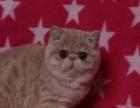 专业猫舍繁育纯种精致加菲猫健康可爱 可签订售后协议