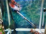 出爆头鸿运罗汉鱼一条和鱼缸