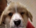 2个月的柯基犬2500元(公母均有)
